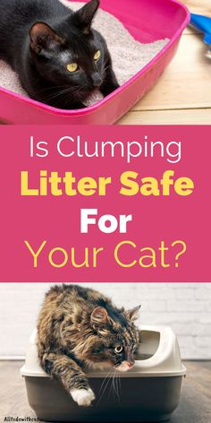Is clumping litter safe for your cat if she has asthma or other respiratory issues? Find what you need to know about clumping litter before making any purchases. bestclumpingcatlitter #bestcatlitter #catlitterideas Best Cat Litter, Litter Box, Surface Mining, Kitten Eyes, Compost Bags, Asthma, Cat Life, Cool Cats