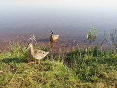 Die Enten kommen uns besuchen