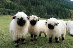 These are the cutest sheep! found in Switzerland Valais Blacknose is a breed of domestic coarse-wooled from Valais Switzerland. Both rams and ewes are horned.