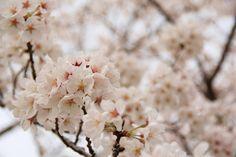 Sakura 20150404