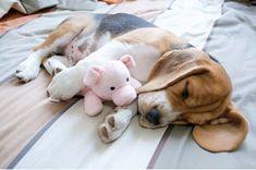 Beagle #BeagleCute