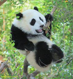 Imagen oso panda [7-1-16]