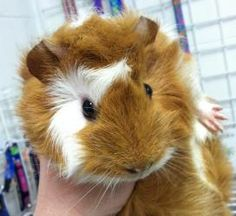 Vitamin C is an adoptable Short-Haired Guinea Pig in Port Angeles, WA. Baby guinea pig! We think it's a female. Adoption fee = $10...