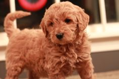 Red goldendoodle from RiverValleyDoodles.com.  Adopted in 2013