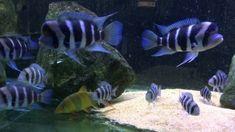 Frontosa Cichlid for Sale Online Aquarium Fish For Sale, Tropical Aquarium, Aquarium Fish Tank, Tropical Fish, Cichlid Fish, Florida Fish, Lake Tanganyika, Fish Breeding, Fish Farming