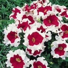200pcs Double Petals Petunia Seeds Bonsai Rare Waterfall Flower Seeds FLTO