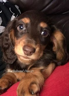 Top 5 Cutest Dogs Guess The Ranking Of Dachshunds This Is A List Of Cutest Dogs Which Always Attract People Who Love In 2020 Cute Dogs Dachshund Puppies Weenie Dogs