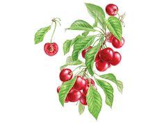 Watercolor fruits & berries on Behance Fruit Illustration, Botanical Illustration, Cherry Fruit, Watercolor Fruit, Food Art, Gift Tags, Berries, Doodles, Behance