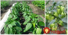 Nápad, ako povzbudiť priesady papriky. Bali, Food And Drink, Vegetables, Plants, Gardening, Red Peppers, Garten, Vegetable Recipes, Flora