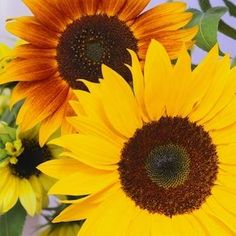 Strawberry Blonde Sunflower - Types of Sunflowers - 10 Blooms Not to Be Missed - Bob Vila