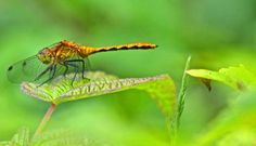 Cool fact! Some dragonflies signal ownership with striking colours on face, abdomen, legs or wings. The common whitetail (Plathemis lydia) dashes towards an intruder holding its white abdomen aloft like a flag. Other dragonflies engage in aerial dogfights or high speed chases. Any female will need to mate with the territory holder before laying her eggs.