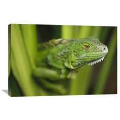 Global Gallery Nature Photographs Green Iguana Amid Green Leaves, Roatan Island, Honduras by Tim Fitzharris Photographic Print on Wrapped Canvas Si...