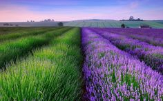 """The Last Enchantments thelastenchantments: Lavender fields in Kent. """"On an England summer the day softens toward its evening, and then for a moment nothing anywhere moves."""" - The Last Enchantments Green Fields, Lavender Fields, Lavender Flowers, Hd Flowers, Lavander, Lavender Blue, New Nature Wallpaper, Wallpaper Backgrounds, Desktop Wallpapers"""