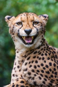 Photo What does the Cheetah say? by Johannes Wapelhorst on 500px