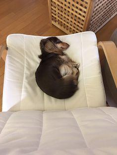 #kaninhen #dachshund