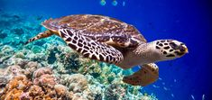 Hawksbill Turtle Is World's First Known Biofluorescent Reptile - Scuba Diver Life