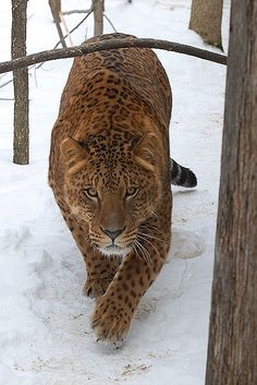 A jaglion or jaguon is a cross between a male jaguar and a female lion. It has the lion's background color, brown, jaguar-like rosettes and the powerful build of the jaguar.