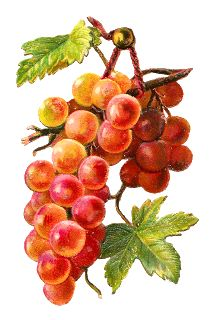 Antique Images: Free Fruit Clip Art: Graphic of Bunch of Yellow Grapes on Branch with Leaves