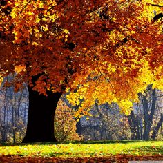 Nature Tree Leaves Sunshine Flowing Orange Silk Ribbon Fall Gold