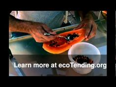 Growing Papaya Trees from seeds with ecoTending.org