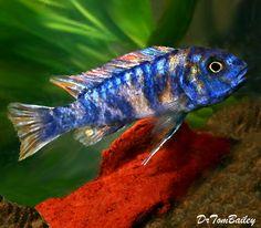 Assorted Trewavasae Mbuna Cichlids, Featured item. #trewavasae #mbuna #cichlid #cichlids #fish #petfish #aquarium #aquariums #freshwater #freshwaterfish #featureditem