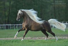 tickled-fancy - from Katiri Peters Cute Horses, Pretty Horses, Horse Love, Beautiful Creatures, Animals Beautiful, Cute Animals, Cowboy Horse, Horse Girl, Most Beautiful Horses