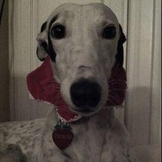Greyhound Holiday Pic
