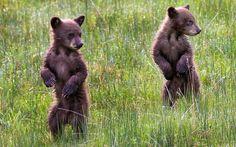 Un par de pequeños osos en pie sobre sus patas traseras en el parque de Yellowstone, Wyoming, EEUU (Max Waugh, 2015)