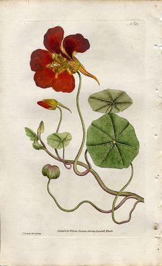 Vintage Botanical Poster Art Reproduction - Nasturtium by Eugene ...