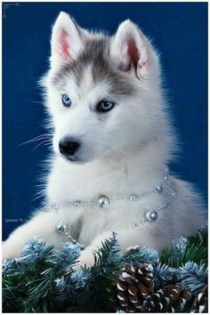 A dog will teach you unconditional love. If you can have that in your life things won't be too bad. huskies husky dog husky adoption a husky dog a husky puppy husky breeds husky baby husky blue eyes husky colors Tg; Cute Husky Puppies, Siberian Husky Puppies, Husky Puppy, Siberian Huskies, Huskies Puppies, Pomeranian Husky, Beautiful Dogs, Animals Beautiful, Baby Huskys