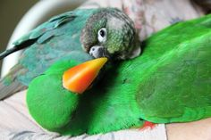 Honey the conure and Pepito the eclectus, by Margaux Deman