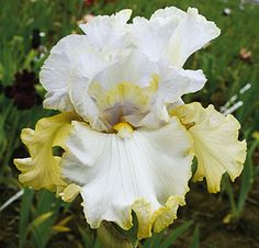 Pewter and Gold   Fragrant Iris