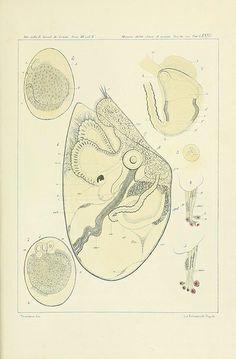 Æolididae e famiglie affini del porto di Genova /. Bologna :Tipi Gamberini e Parmeggiani,1877-1881.. biodiversitylibrary.org/page/30074491