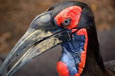 Southern_Ground-hornbill_(Bucorvus_leadbeateri)_-side_of_head.jpg (3000×1992)