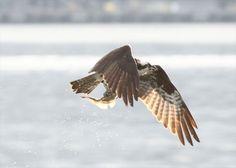 Osprey at Alki, courtesy 'kweitz'