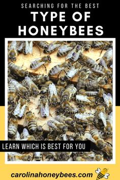 How to find the best type of honey bees for your hive. There are different kinds of bees to choose for new beekeepers. Find the type of bee that has the characteristics you desire most. #carolinahoneybees