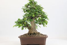 Korean Hornbean bonsai Tree available from All Things Bonsai, Sheffield, Yorkshire