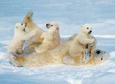 Polar bear cubs playing with mother