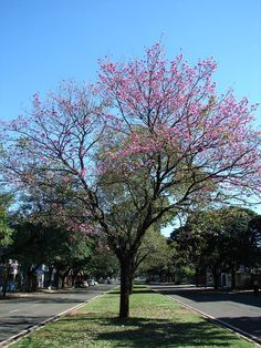 28/06/2014 Em Maringá, natureza nos presentei com muitas belezas. Fotos Nadia C. Marchiotti (Rua Santos Dumont/ Av. Brasil/ Praça das Antes) #avenidabrasil #antesdaciclovia #ipês #árvores #natureza #planoaberto #rua