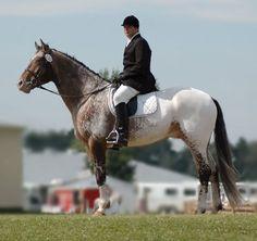 Friesian Appaloosa Sport Horse