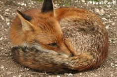 http://www.wildlifeonline.me.uk/images/graphics/red_fox_03.jpg