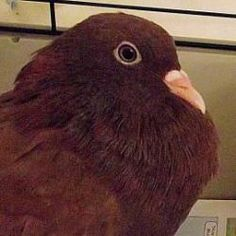 17459427 is an adoptable Pigeon in Fairport, NY.  ...