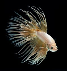 Siamese fighting fish portrait - Visarute Angkatavanich