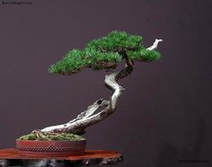 Image from http://g03.a.alicdn.com/kf/HTB13F6CHVXXXXbSXXXXq6xXFXXXa/Millennium-Plants-30-Piece-Five-Leaved-Pine-Tree-Seeds-Potted-Landscape-Japanese-Five-Needle-Pine-Bonsai.jpg.