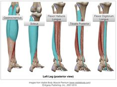 Calf Anatomy, Anatomy Bones, Muscle Anatomy, Human Anatomy, Muscle Names, Massage Therapy School, Love Massage, Remedial Massage, Anatomy Images