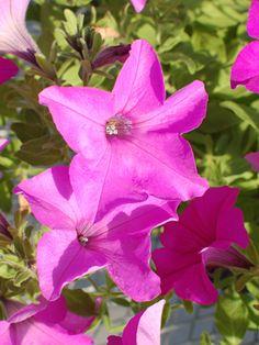 Sumo bold lilac-Large