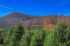 Boyd's Christmas Tree Farm in Waynesville North Carolina. I do ...