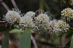 Hakea plurinervia; Open small upright shrub with perfumed flowers in winter and spring.