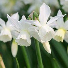 "°spring garden°  NARCISSUS ""Thalia"""