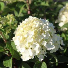 Buy Hydrangea paniculata 'BOBO' for Sale Online, Delivery by Big Plant Nursery Hydrangea Paniculata, Hortensia Hydrangea, White Gardens, Landscape, Compact, Fruit, Gardening, Hydrangeas, Small Gardens